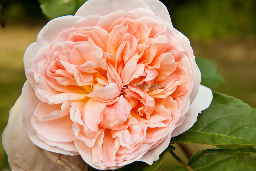 Rose 'Evelyn' , Rosa 'Evelyn'.(Austin 1992)