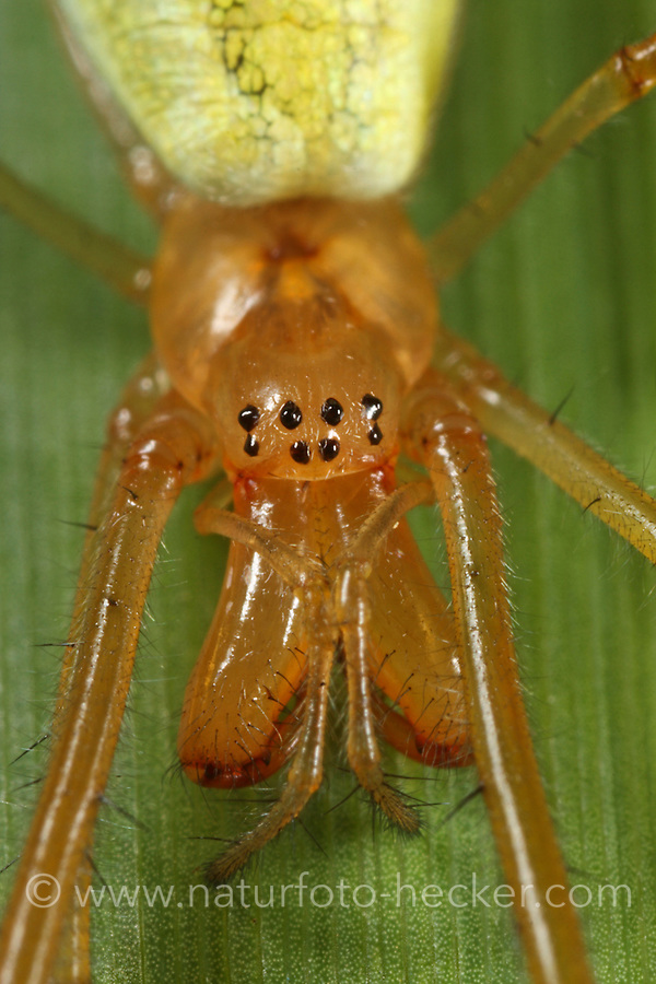 Gemeine Streckerspinne, Tetragnatha extensa, Long-jawed spider, long-jawed orb weaver