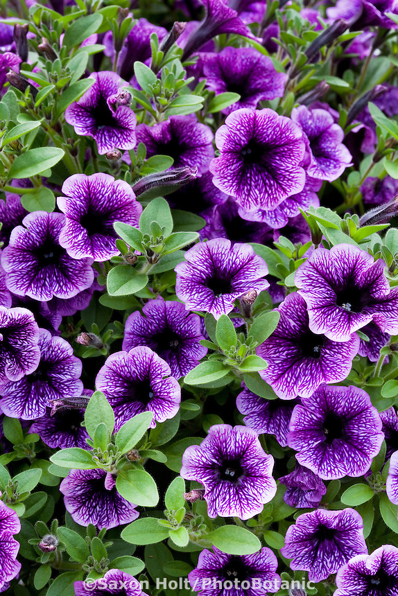 Blue annual flower - Petunia - Littletunia Blue Vein
