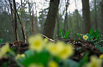 AF5GX7 Blurred out of focus ground level view of primroses with grey trees woodland background