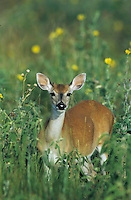 White-tailed Deer, Odocoileus virginianus, Buck, Welder Wildlife Refuge, Sinton, Texas, USA, May 2005