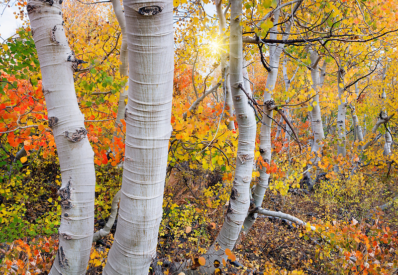 Close up of fall color and trunks of aspen trees and sun. Inyo National forest. California