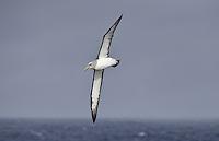 Salvin's Albatross - Thalassarche salvini