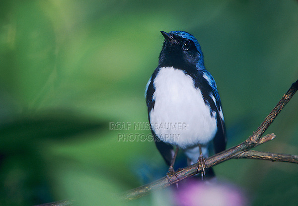 Black-throated Blue Warbler, Dendroica caerulescens,male, Rocklands, Montego Bay, Jamaica, January 2005