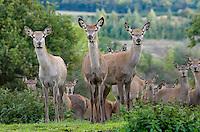 Red Deer hinds.Yorkshire.