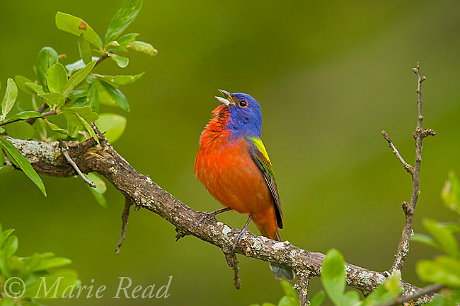 Painted Bunting (Passerina ciris) male singing in spring, Wichita Mountains National Wildlife Refuge, Oklahoma, USA