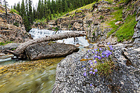 Wildflowers making a nice home in a granite boulder in the creek.