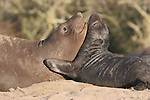Elephant seal females & pups