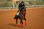 RIYADH,SAUDI ARABIA-FEB 27: Gold Dream excercises for Saudi Cup at King Abdulaziz Racetrack on February 28,2020 in Riyadh,Saudi Arabia. Kaz Ishida/Eclipse Sportswire/CSM