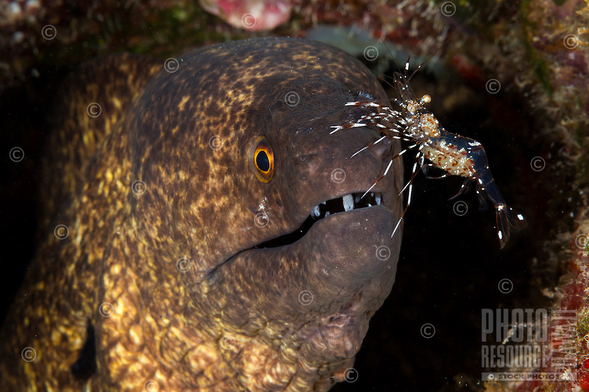 An underwater closeup of a yellowmargin moray with a cleaner shrimp on its nose, off of the Waianae coast of O'ahu.