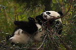 A baby Panda Bear at the SanDiego Zoo.