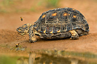 481150044 a wild texas tortoise gopherus berlandieri by a pond  with a bee hovering over it head in the rio grande valley texas united states