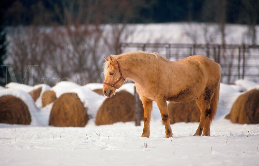 Horse walking in the snow.