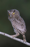 Eastern Screech-Owl, Megascops asio, Otus asio,young fledgling, Willacy County, Rio Grande Valley, Texas, USA