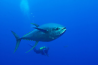 A large Yellowfin Tuna, Thunnus albacares, observed by diver Jean-Marie Jeandel. Roca Partida, Revillagigedos, Mexico, Pacific Ocean