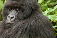 Silverback Gorilla in the Virunga Mountains, Parc National Des Volcans, Rwanda