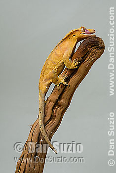 New Caledonian Crested Gecko, Rhacodactylus ciliatus, also called Guichenot's Giant Gecko or Eyelash Gecko.  Unlike most lizards, geckos have no eyelids, and use their long tongues to clean the protective clear scale that covers the eye.  Endemic to New Caledonia in the South Pacific, the crested gecko was thought extinct until it was rediscovered in 1994.  It is now one of the most commonly kept species of gecko in captivity.  .