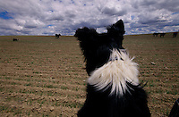 Border collies to help manage 240 sheep the Fritzes run on their North Dakota ranch to control an invasive flowering plant called leafy spurge. The Eurasian weed contains latex, <br /> which burns cows' mouths; enough spurge on pastureland will drive cattle away entirely.
