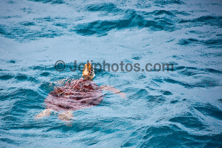 A turtle swims in a lagoon in the Maldives (Thursday, June 11th, 2009). Photo: joliphotos.com