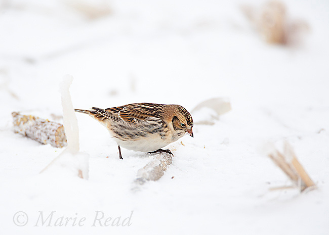 Lapland Longspur (Calcarius lapponicus), non-breeding plumage, on snow-covered ground in cornfield, New York, USA
