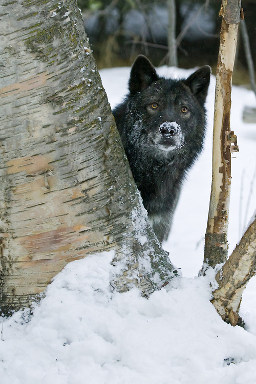 Grey Wolf peering out from behind a tree - CA