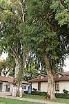 T-038 Eucalyptus in Kfar Saba