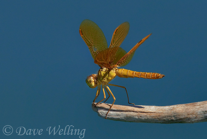 304570005 a wild mexican amberwing dragonfly perithemis intesa perches on a branch near el centro imperail county california united states