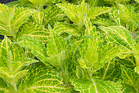 Coleus 'Electric Lime' Solenostemon annual foliage plant details of leaves and plant veins in yellow and green