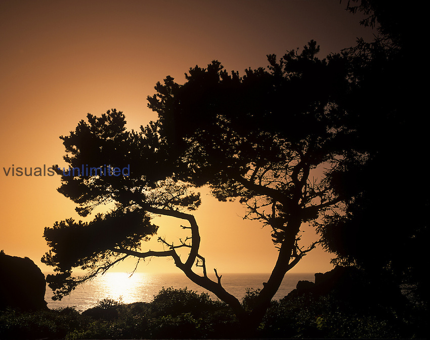 Silhouetted tree at sunset, Patricks Point State Park, California, USA.