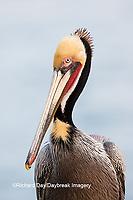 00672-00703 Brown Pelican (Pelecanus occidentalis), La Jolla cliffs, La Jolla, CA