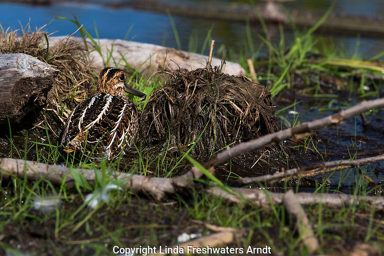 Wilson's snipe attempting to hide