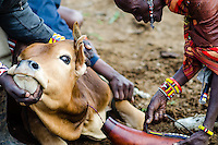 A cow is bled, during a Maasai circumcision ceremony.