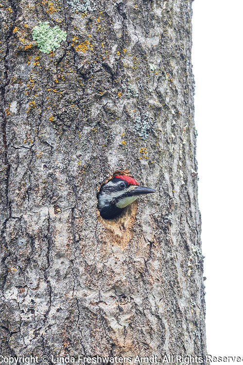 Yellow-bellied sapsucker in northern Wisconsin.
