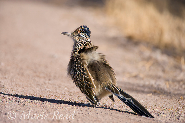 Greater Roadrunner (Geococcyx californianus), sun bathing, Bosque Del Apache National Wildlife Refuge, New Mexico, USA