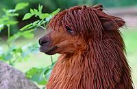 Alpaka, Pako, Lama pacos, Lama guanicoe pacos, alpaca