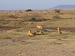 Lionesses eying a mixed herd of Tompson's and Grant's Gazelles early morning near the Seronera river area of the Serengeti.