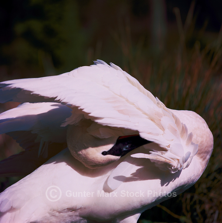 Trumpeter Swan (Cygnus buccinator aka Olor buccinator) preening its Feathers - North American Birds and Swans