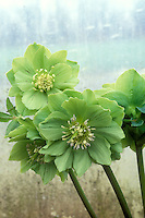 Helleborus Party Dress Group - green hellebore
