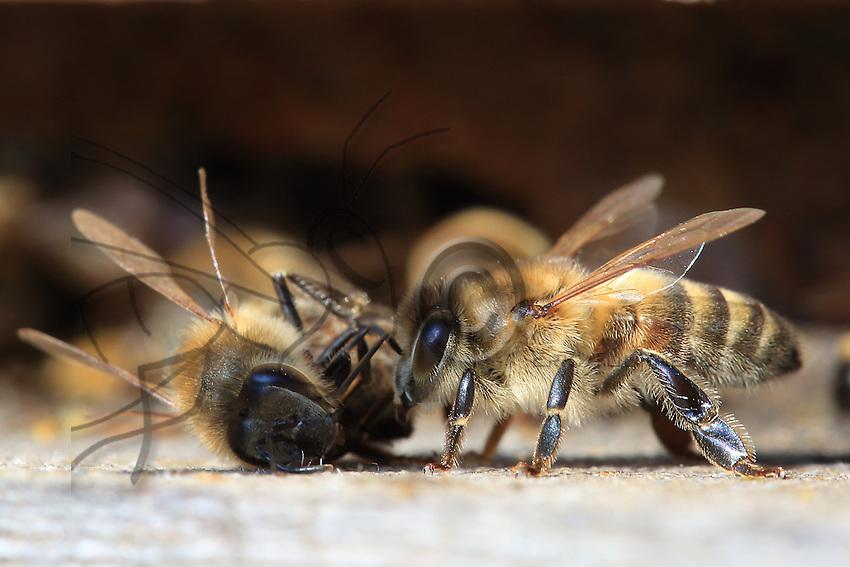 On the flight board, the dead bee is taken out of the hive by its sister. ///Sur la planche d'envol, une abeille morte est sortie de la ruche par sa sœur.