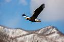 Japan, Hokkaido, Steller's sea eagle in flight, motion blur