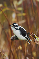 Downy Woodpecker, Picoides pubescens, female on flower seed stalk with fallcolors, Grand Teton NP,Wyoming, September 2005