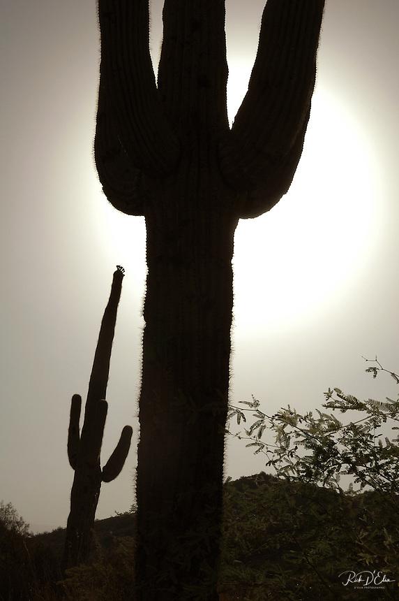 Tonto National Forest, Phoenix, D'Elia, Sonoran Desert, Landscape, travel, Landscape Images from Arizona, Cactus, desert, flowers, aspen, fall, autumn, mountains Flagstaff, Sedona, Oak Creek, red rock, clouds, forest, Grand Canyon, nature, Saguaro
