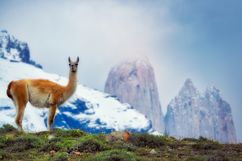 Guanaco with Towers in Torres del Paine National Park, Chile. Argentina