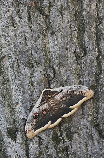 Giant Peacock Moth, Saturnia pyri, adult on bark resting, Europe's largest moth, National Park Lake Neusiedl, Burgenland, Austria, April 2007