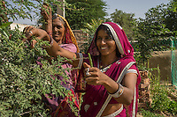 Gogaram Giri, 35, and her mother-in-law Pushpadevi Giri, 55, harvest beans from their kitchen garden in a village near Bikaner, Rajasthan, India on October 23, 2016. Non-profit organisation Technoserve works with farmer's wives in Bikaner, providing technical support and training for edible gardening, to improve the nutritional quality of their food and relieve financial stress on farming communities. Photograph by Suzanne Lee for Technoserve