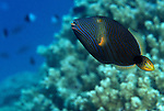 Moorea, French Polynesia; Orange-lined Triggerfish (Balistapus undulatus), solitary, found in coral-rich areas of lagoons and outer reefs in 2-50 meters, in the Indo-Pacific Ocean region, Red Sea to E. Africa to Hawaii and Tuamotu Island in French Polynesia. S. Japan to Australia, to 30 cm , Copyright © Matthew Meier, matthewmeierphoto.com All Rights Reserved