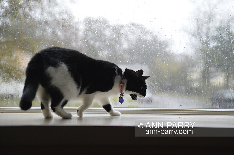 October 29, 2012 - Merrick, New York, U.S. - While Hurricane Sandy whips leaves and rain outside, cat watches from safety of her home on Long Island's south shore.