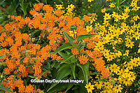 63821-20003 Butterfly Milkweed (Asclepias tuberosa) & Threadleaf Coreopsis (Coreopsis verticillata 'Golden Showers')  in garden, Marion Co., IL
