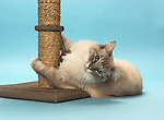 Ragdoll Cat - using a scratching post