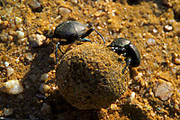 KLASERIE PRIVATE GAME RESERVE, SOUTH AFRICA, DECEMBER 2004. Dung beetles on the job. Wildlife guide Gary Freeman takes people on walking safaris in the bush. Photo by Frits Meyst/Adventure4ever.com